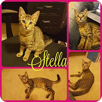 Domestic Shorthair Kitten for adoption in Ft Worth, Texas - Stella