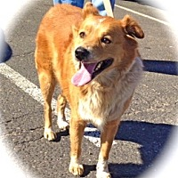 Australian Shepherd/Corgi Mix Dog for adoption in Los Angeles, California - Handsome Teddy Bear