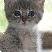 Adopt A Pet :: Ab Litter - Tegan - Williamston, MI
