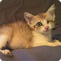 Domestic Shorthair Kitten for adoption in Austin, Texas - Awesomenaut
