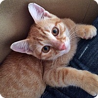 Adopt A Pet :: Sam the Sweetest Orange Tabby - Brooklyn, NY
