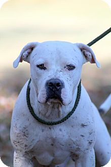 American Bulldog Dog for adoption in Sparta, Tennessee - Woody