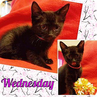 Domestic Shorthair Kitten for adoption in Brandon, Florida - Wednesday