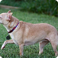 Chihuahua Mix Dog for adoption in Nashville, Tennessee - Tamara