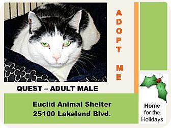 Domestic Shorthair Cat for adoption in Euclid, Ohio - Quest