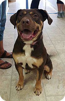 Rottweiler Mix Dog for adoption in Plainfield, Illinois - Fawn