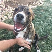 Adopt A Pet :: Hardy - Denver, CO