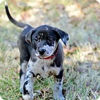 Adopt A Pet :: PUPPY BO - Washington, DC