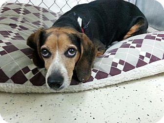 Beagle Mix Dog for adoption in Cedar Rapids, Iowa - Sarge