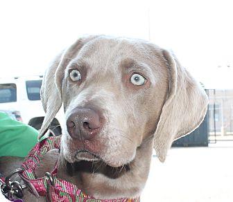 Weimaraner Dog for adoption in Rolling Hills Estates, California - Daisy