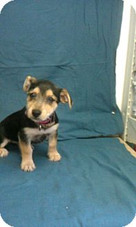 Schnauzer (Miniature) Mix Puppy for adoption in Waldorf, Maryland - Lulu