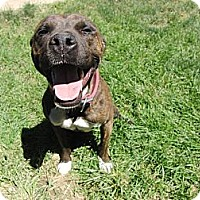 Adopt A Pet :: Coco Good Citizen!! - Sacramento, CA