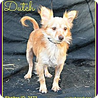 Adopt A Pet :: Dutch - Plano, TX