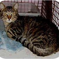 Adopt A Pet :: Cuddles - Dallas, TX