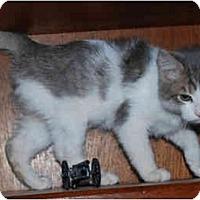 Adopt A Pet :: St Nick - Colmar, PA