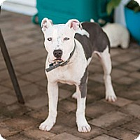 Adopt A Pet :: Porter - Miami, FL