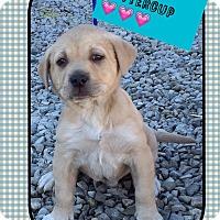 Adopt A Pet :: Britty Buttercup (Pom) - Harrisonburg, VA
