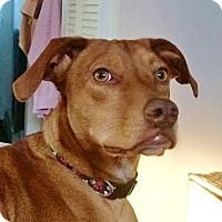 Adopt A Pet :: Copper~meet me! - Glastonbury, CT