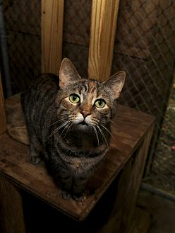 Domestic Shorthair Cat for adoption in Ashland, Ohio - Skelly