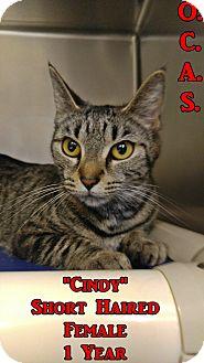 Domestic Shorthair Cat for adoption in Triadelphia, West Virginia - Petco 2 Cindy / Capri