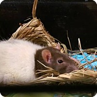 Adopt A Pet :: Courtesy Listing 2 young rat girls - Virginia Beach, VA