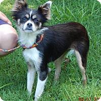 Adopt A Pet :: Gracie(11 lb) Sweetie Pie! - SUSSEX, NJ