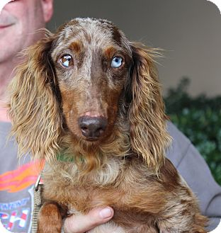 Dachshund Dog for adoption in Atlanta, Georgia - York