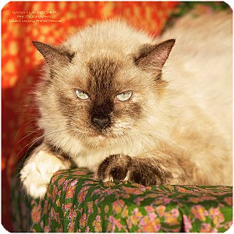 Siamese Cat for adoption in Cincinnati, Ohio - Brooklyn- WAIVED FEE