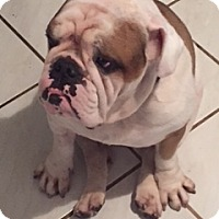 English Bulldog Dog for adoption in Davie, Florida - Bentley