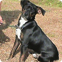 Adopt A Pet :: Scout - Maynardville, TN