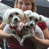 Maltese Dog for adoption in Los Angeles, California - Lolly & Elsa - SO CUTE