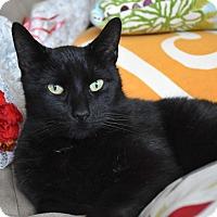 Domestic Shorthair Cat for adoption in Bristol, Connecticut - Binx