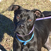 Boxer Mix Dog for adoption in Seabrook, New Hampshire - Kibbles