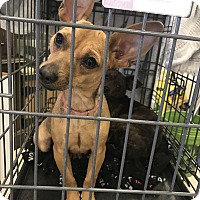 Adopt A Pet :: Maizy - Houston, TX