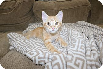 Domestic Shorthair Kitten for adoption in Edmond, Oklahoma - Cubby