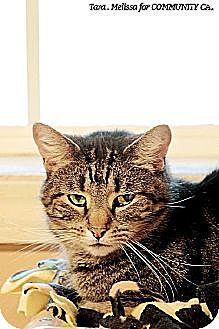 Domestic Shorthair Cat for adoption in Whitewater, Wisconsin - Pedrio