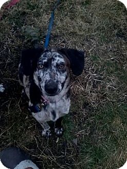 Catahoula Leopard Dog Mix Dog for adoption in McKeesport, Pennsylvania - Maih