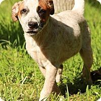 Adopt A Pet :: Curly Sue - Brattleboro, VT