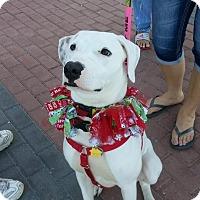 Adopt A Pet :: Oliver - Holmes Beach, FL