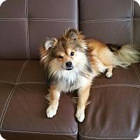 Adopt A Pet :: Houdini-Pom mix! - Canoga Park, CA