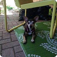 Chihuahua/Rat Terrier Mix Dog for adoption in Dallas, Texas - Jerry Lee