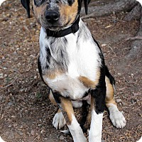 Adopt A Pet :: Penelope - Westminster, CO