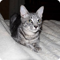 Domestic Shorthair Kitten for adoption in Saint Augustine, Florida - Leon