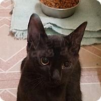 Adopt A Pet :: Chive - Colmar, PA