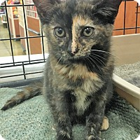 Adopt A Pet :: Amy Farrah Fowler - North Wilkesboro, NC