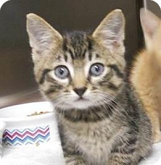 Domestic Shorthair Cat for adoption in Belleville, Michigan - Boomer