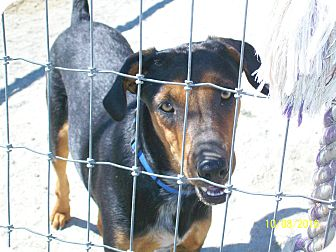 Australian Cattle Dog/Hound (Unknown Type) Mix Dog for adoption in Mexia, Texas - Jimmy