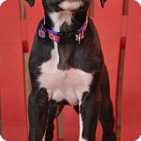 Labrador Retriever/Border Collie Mix Puppy for adoption in Lebanon, Tennessee - Salem