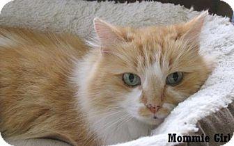 Domestic Longhair Cat for adoption in Fullerton, California - Mommie Girl