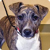 Boxer Mix Dog for adoption in Wildomar, California - Subie